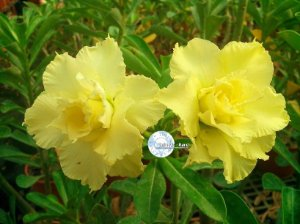 "Kit 5 Sementes de ""Mr. KO 60 "" Rosa do Deserto - Adenium Obesum"