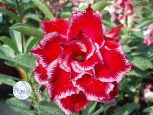 "Kit 5 Sementes de "" Mr. KO MIRACLE "" Rosa do Deserto - Adenium Obesum"