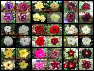 "Kit 5 Sementes de ""MULTI PETALS MIXED"" Rosa do Deserto - Adenium Obesum"