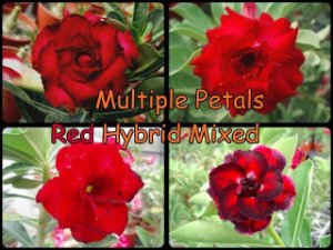 "Kit 5 Sementes de "" MIX MULTI RED "" Rosa do Deserto - Adenium Obesum"
