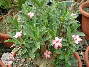 """Kit 5 Sementes de """" ARABICUM TINY DONG """" Rosa do Deserto - Adenium Arabicum"""