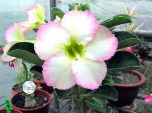 "Kit 5 Sementes de "" Mr. KO SUPER PERFUME "" Rosa do Deserto - Adenium Obesum"