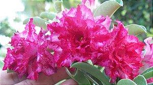 Rosa do deserto Tripla M-8 / M8 / M 8 - 12 Meses