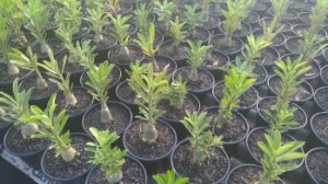 KIT com 05 Mudas de Rosa do Deserto até 8 meses - Adenium Obesum