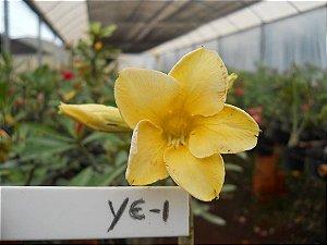 Muda enxertada de rosa do deserto YE-1  - 12 Meses