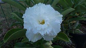 Muda enxertada rosa do deserto TRIPLE WHITE - 12 Meses