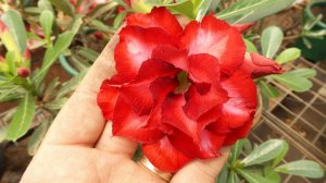 Muda enxertada de rosa do deserto TS-57  - 12 Meses