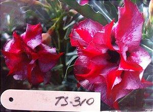 Muda enxertada de rosa do deserto TS-310  - 12 Meses