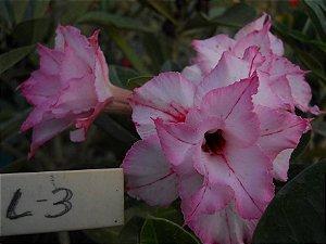 Muda enxertada de rosa do deserto L-3  - 12 Meses