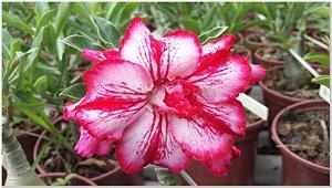 Muda de rosa do deserto BERTHA  - 1 ano de idade