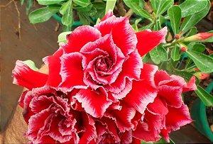 Muda enxertada de rosa do deserto TW-2 - 12 Meses