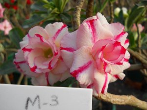Muda enxertada de rosa do deserto M-3 - 12 Meses