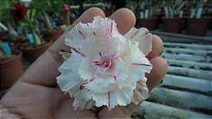 Muda enxertada de rosa do deserto PK-6  12 Meses