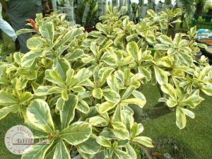 "Kit 5 Sementes de ""Mr. KO SUPER YELLOW LEAF "" Rosa do Deserto - Adenium Obesum"