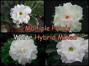 """Kit 5 Sementes de """" MIX MULTI PETALS WHITE """" Rosa do Deserto - Adenium Obesum"""