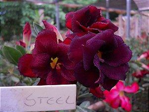 Rosa do deserto negra dobrada STEEL  - 12 Meses