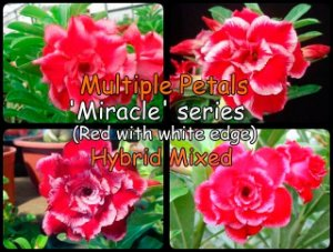 "Kit 5 Sementes de "" MIX MULTI PETALS MIRACLE "" Rosa do Deserto - Adenium Obesum"