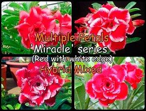 """Kit 5 Sementes de """" MIX MULTI PETALS MIRACLE """" Rosa do Deserto - Adenium Obesum"""
