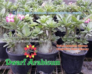 "Kit 5 Sementes de "" DWARF ARABICUM "" Rosa do Deserto - Adenium Obesum"