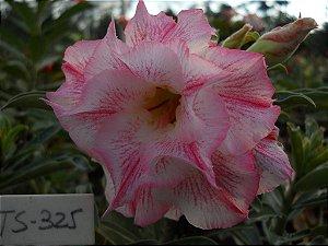 Muda enxertada de rosa do deserto TS 325 - 12 Meses