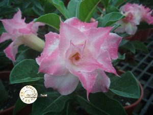 "Kit 5 Sementes de "" Mr. KO 25 "" Rosa do Deserto - Adenium Obesum"