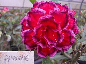 Muda enxertada 2 enxertos de rosa do deserto PARADISE- 18 a 24 Meses