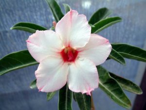 "Kit 5 Sementes de ""Mr. KO HEIRLOM "" Rosa do Deserto - Adenium Obesum"