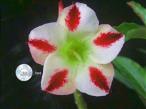 "Kit 5 Sementes de ""Mr. KO PHOENIX "" Rosa do Deserto - Adenium Obesum"