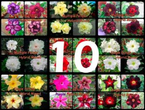 "Kit 10 Sementes de ""MULTI PETALS MIXED"" Rosa do Deserto - Adenium Obesum"