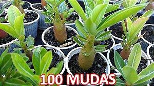 KIT com 100 Mudas de Rosa do Deserto 3 a 5 meses - Adenium Obesum