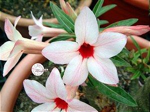 """Kit 5 Sementes de """"CANARY BIRD """" Rosa do Deserto - Adenium Obesum"""