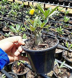 Muda Thai Socotranum 8 meses - Muda de Rosa do Deserto