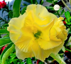 "Kit 5 Sementes de ""KO 77 "" Rosa do Deserto - Adenium Obesum"