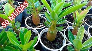 KIT com 50 Mudas de Rosa do Deserto 3 a 5 meses - Adenium Obesum