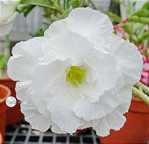 "Kit 5 Sementes de ""KO 111 "" Rosa do Deserto - Adenium Obesum"