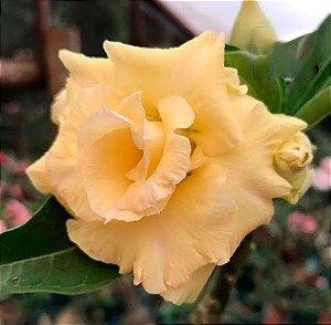 Rosa do deserto tripla na cor amarela BELGA - 12 Meses