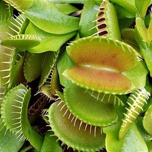 Planta Carnivora Dionaea Muscipula