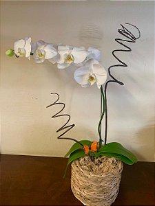 Orquídea Phaneanopolis no cachepo de vime