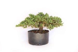 Pré Bonsai Juniperus Procumbens 4 Anos