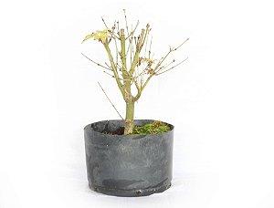 Pré Bonsai Acer Palmatum 2,5 Anos