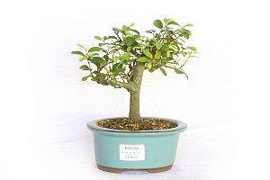 Bonsai Grewia Occidentalis (Flor de Lótus) 3 Anos