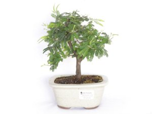 Bonsai Caliandra Rosa 3 Anos
