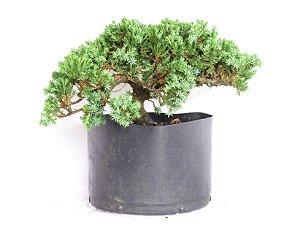 Pré Bonsai Juniperus Procumbens 3,5 Anos