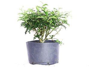 Pré Bonsai Peppertree 3 Anos