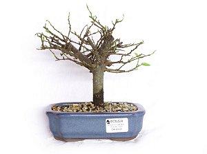 Bonsai Grewia Occidentalis (Flor de Lótus) 4 Anos