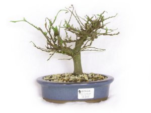 Bonsai Grewia Occidentalis (Flor de Lótus) 4 Anos