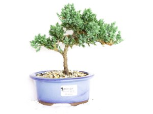 Bonsai Juniperus Procumbens 3 Anos