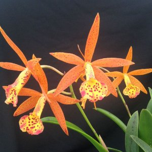 Pot. Hoku Gem 'Freckles' - Adulta