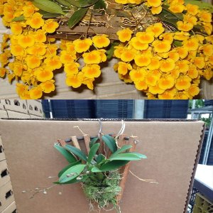 Dendrobium Agregatum com Leque - Adulta