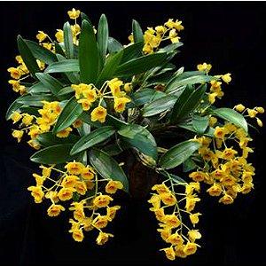 Dendrobium Chrysotoxum - Adulta